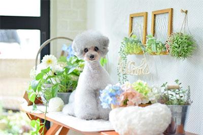 花の置かれたテーブルに佇むシルバートイプードル