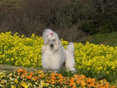 お花畑に佇むトイプードルちゃん