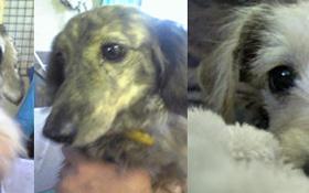 カットされたばかりのシュナとダックスとミックス犬