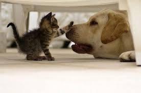 ラブラドールと遊ぶ子猫