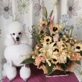 お花とホワイトトイプードル