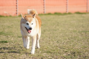 ドッグランで遊ぶ秋田犬