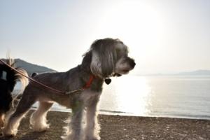夕日の海でたたずむシュナ