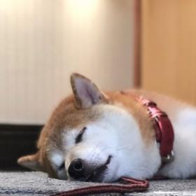 ぐっすり休む柴犬