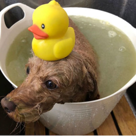 お風呂につかっているトイプードル