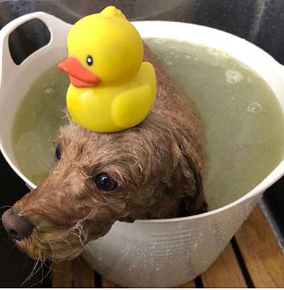 入浴中のトイプードルマロくん