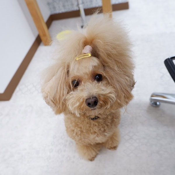 カット後のトイプードルモデル犬